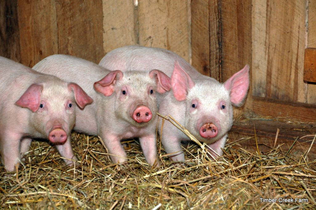 Three-baby-pigs1